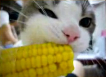 cat-loves-his-corn