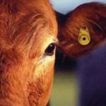 cow-tag-285x300