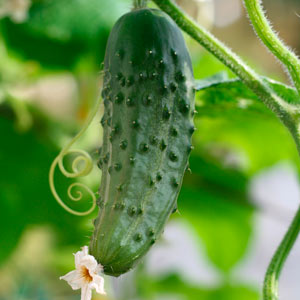 Cucumber on vine