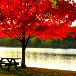 Red-Maple-Tree-4