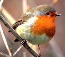 robin-bird-spring