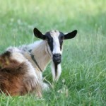 goat-relaxing-on-pasture-1409961-m